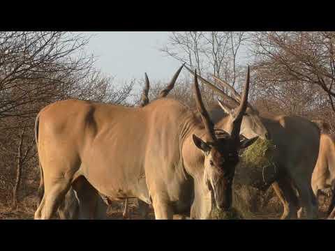 bow hunting big eland bowhuntingsa kevin