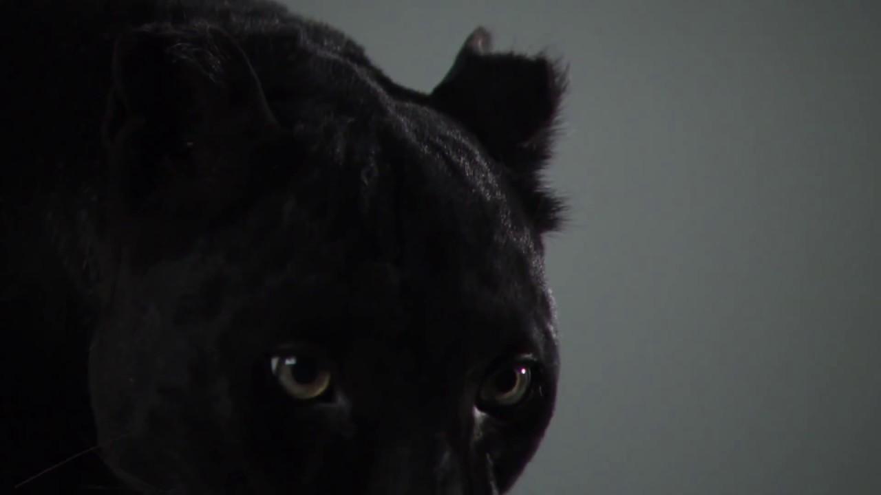 Днем рождения, кот черный гифка