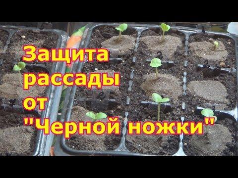 """Профилактика сеянцев от """"Черной ножки"""". Народные методы"""
