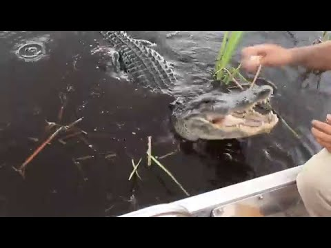 Everglades Airboat Ride With A Miccosukee Tribe Alligator Handler