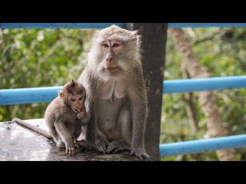Monkey Forest on Lombok - Monkeys 4K