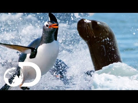 Sea Lion Hunts Penguins As Killer Whales Lurk Close By | Deadly Islands