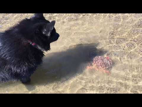 Schipperke dog finds a crab.  Crab makes escape.