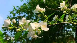 고광나무 | 고광나무꽃