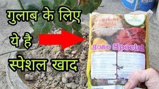 अगर इस खाद को गुलाब के पौधे में देते हैं तो फूलों की बरसा होगी। best fertilizer for rose plant