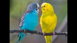 Как выбрать волнистого попугая?