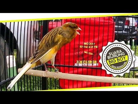 Download Lagu SUARA BURUNG : Aksi Big Boy Kenari Yorkshire Juara Gacor Di Kebumen Bird Champion