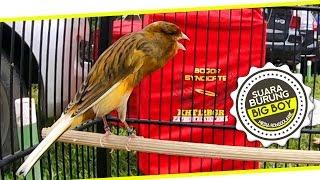 SUARA BURUNG : Aksi Big Boy Kenari Yorkshire Juara Gacor Di Kebumen Bird Champion