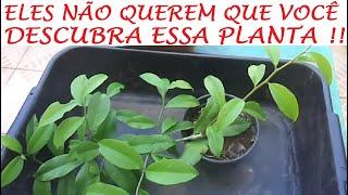 Veja o Bem Que essa Planta Faz  – Planta Milagrosa