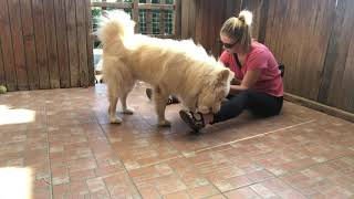SLED DOG RESCUE SANCTUARY: Grooming Percy