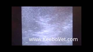 Dog 48 Days Pregnant Diagnosed With Veterinary Ultrasound KX5100V