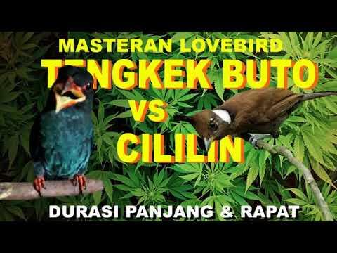 Suara Tengkek Buto Dan Cililin Untuk Masteran Lovebird