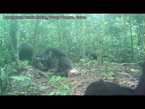 Aerial (above Ground) And Underground Termite Fishing By Chimpanzees Across Africa (MPI-EVA PanAf)