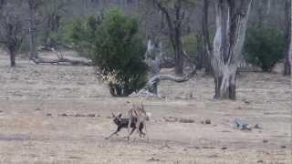 mana pools zimbabwe 2012 a lone wild dog taking down an impala