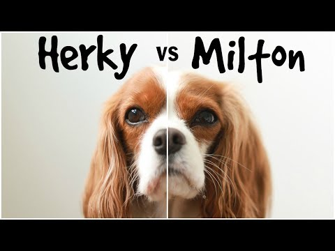 Herky vs Milton: CAVALIER KING CHARLES PERSONALITY TRAITS AND ANECDOTES