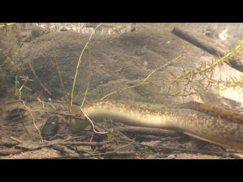 Eels of the Black River