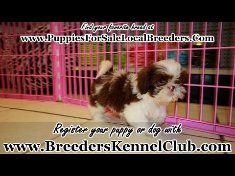SHIHTZU PUPPIES FOR SALE GEORGIA LOCAL BREEDERS