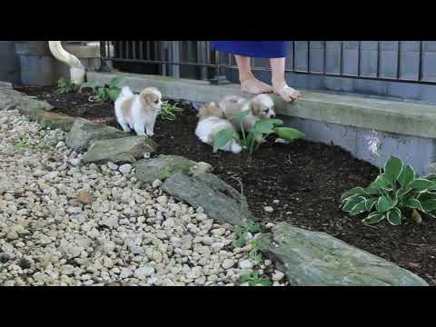 Shih Tzu Mix Puppies For Sale Jacob Zook