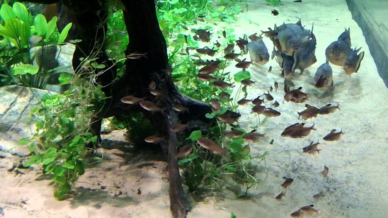 Myths Of The Piranha   Largest Planted Tank In The World   YouTube