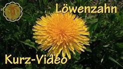 Heilpflanze: Löwenzahn - Kurz-Video