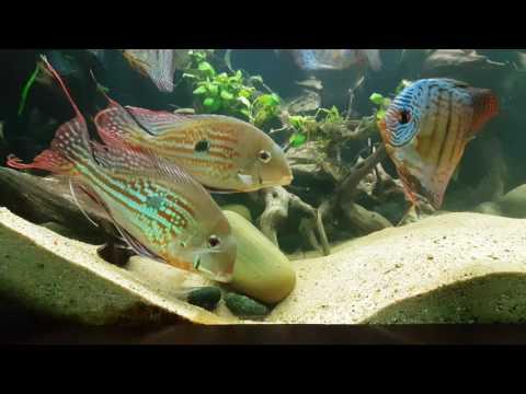 geophagus-winemilleri-mating-dance-600-gallon-planted-discus-tank