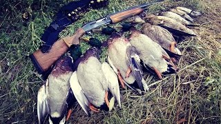 Удачная охота на утку. Кряковая утка. Перелет утки. МР-153.