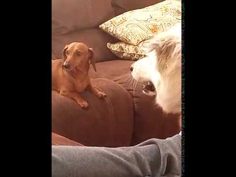 Funny Mini dachshund and Great Pyrenees dog want the same seat