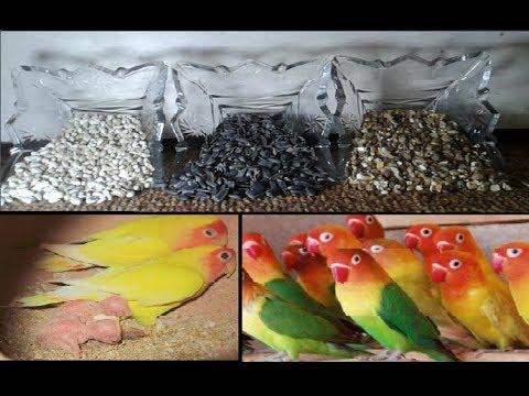 Healthy Soft Food For Love Birds | Urdu/Hindi | By Lodhi Birds