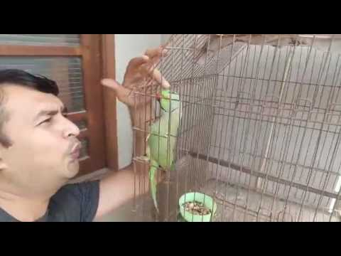 Green Parrot Mian Mithu Whistling and Talking