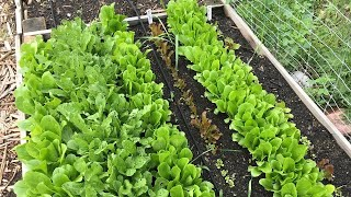 ALL YOU CAN EAT LETTUCE in Tiny Garden... Never Buy Again!