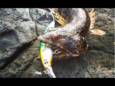 Shore fishing in Tenerife, barracuda and lizardfish