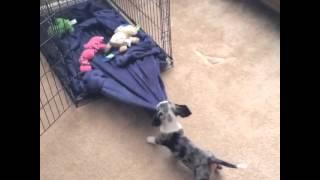 Crate Training Dachshund Puppy