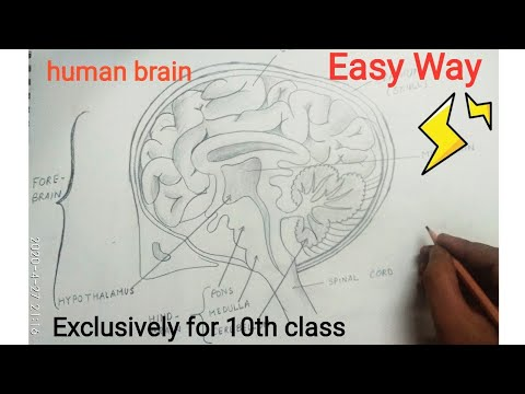 How to draw Human Brain diagram easily | Class 10 ...