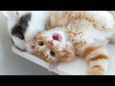 쵸비가 아기 고양이에게 벌써 이걸 해주네요! 2주만에!
