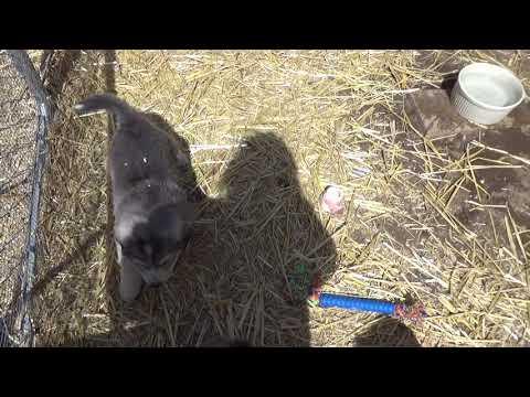 4- 9- 18 Bella X Mycroft puppies update 1 female only orange collar