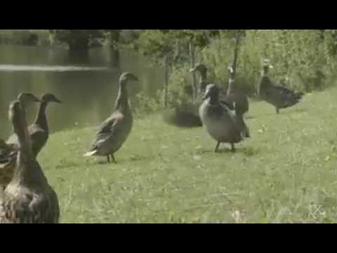Bobby Gunther Walsh - Michael Jackson reincarnated as...a goose?