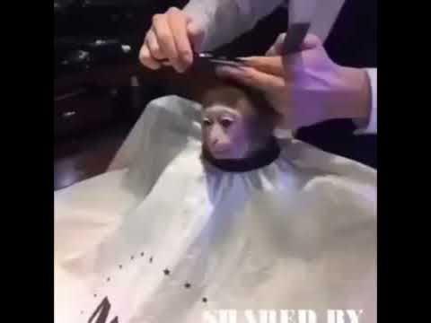 Monkey getting a haircut meme video
