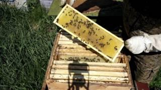 Майский мёд в Свердловской области.(Пчелки активно работают на весенних медоносах. Идет бурное цветение одуванчика, зацвела рябина, черемуха...., 2016-05-26T14:51:12.000Z)