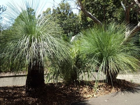 Plant ID: Grass Tree (Xanthorrhoea spp.)