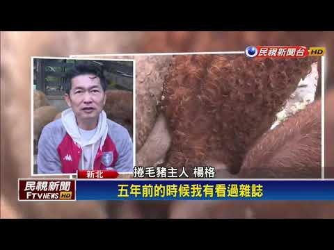 披著羊毛的豬!匈牙利國寶綿羊豬成功繁殖-民視新聞