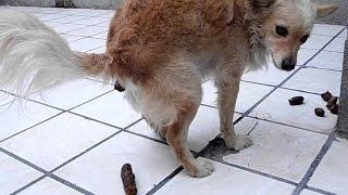 Adiestramiento canino, como entrenar a tu perro para enseñarle a ir al baño