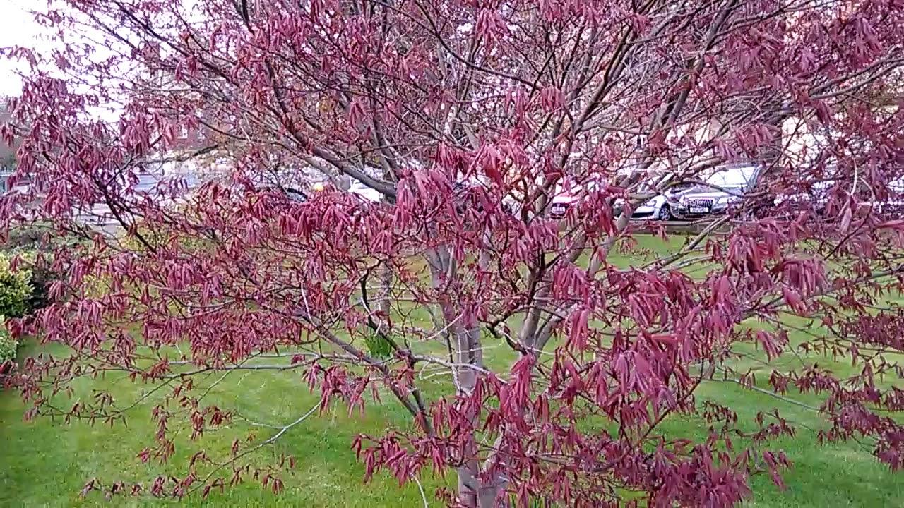 Mature Japanese Maple Tree 2 Youtube