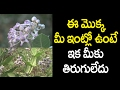 Tella Jilledu is considered to be the most sacred plant| తెల్లజిల్లేడుమీఇంట్లోఉంటేఇకమీకుతిరుగులేదు!!