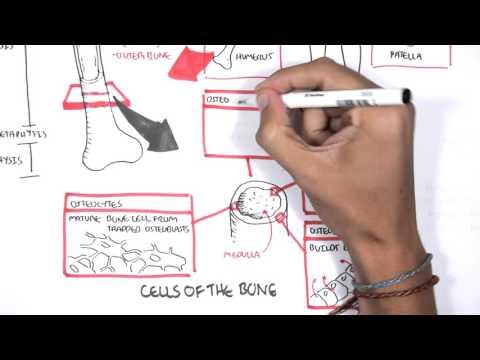 Skeletal System Overview