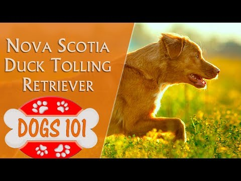 Dogs 101 - NOVA SCOTIA DUCK TOLLING RETRIEVER - Top Dog Facts About the NOVA SCOTIA RETRIEVER