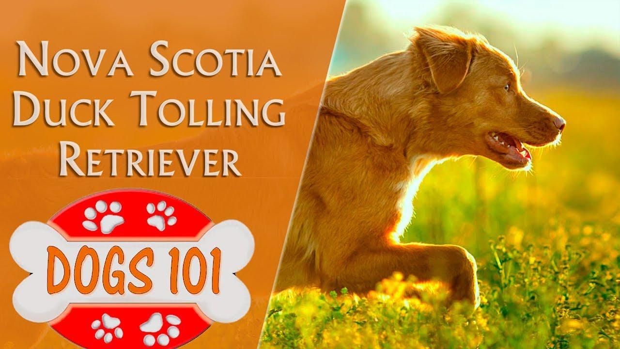 Dogs 101 Nova Scotia Duck Tolling Retriever Top Dog Facts