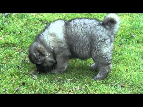 'Y' litter 55 DAYS OLD puppies caucasian shepherd dog