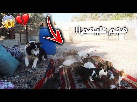 وش يصير لو دخلت اشرس كلب على 100 قطوة !! ماتوقعت