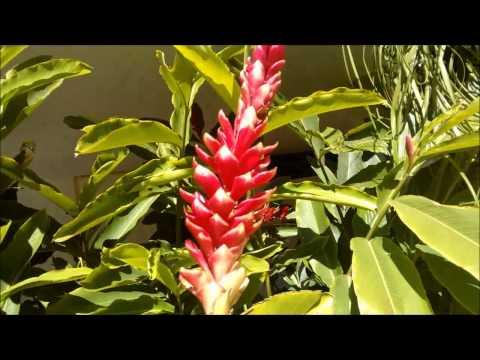 Alpinia purpurata vermelha