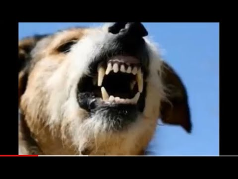 صوت كلاب تنبح غاضبه جداا Youtube